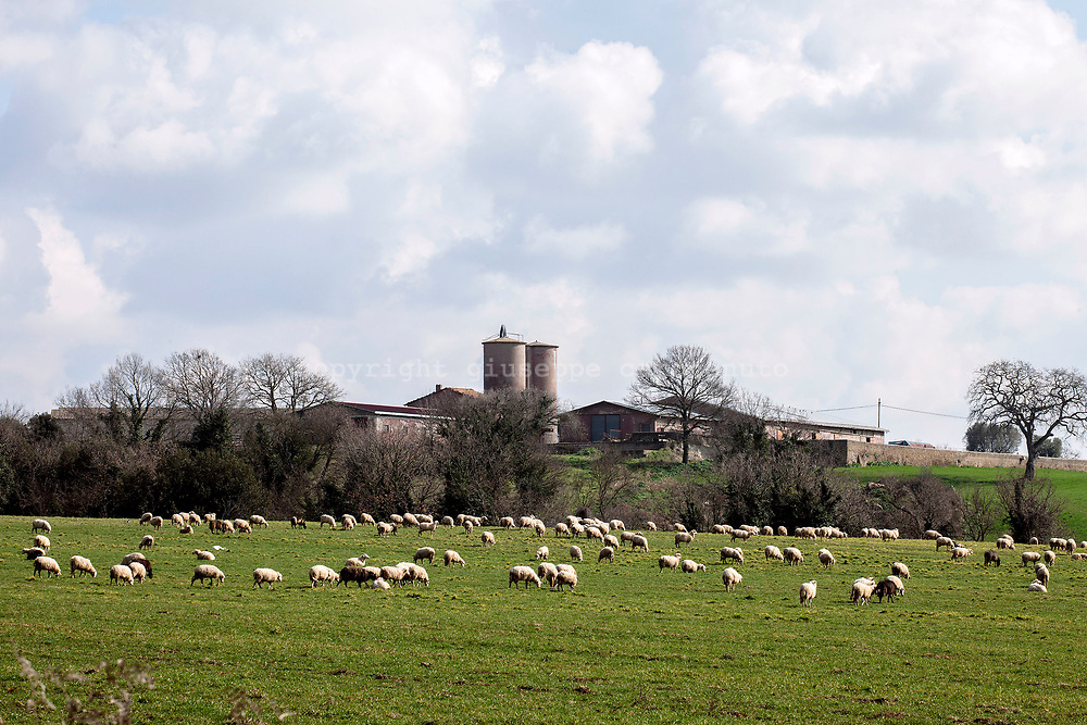 17 February 2017, AQ Italy - Flock of sheep in a field in a south of Tuscany.