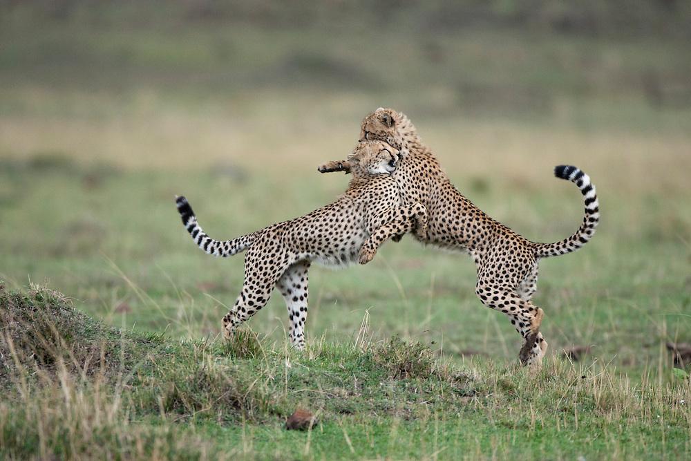 Africa, Kenya, Masai Mara Game Reserve,  Two adolescent Cheetah (Acinonyx jubatas) collide while playing on savanna