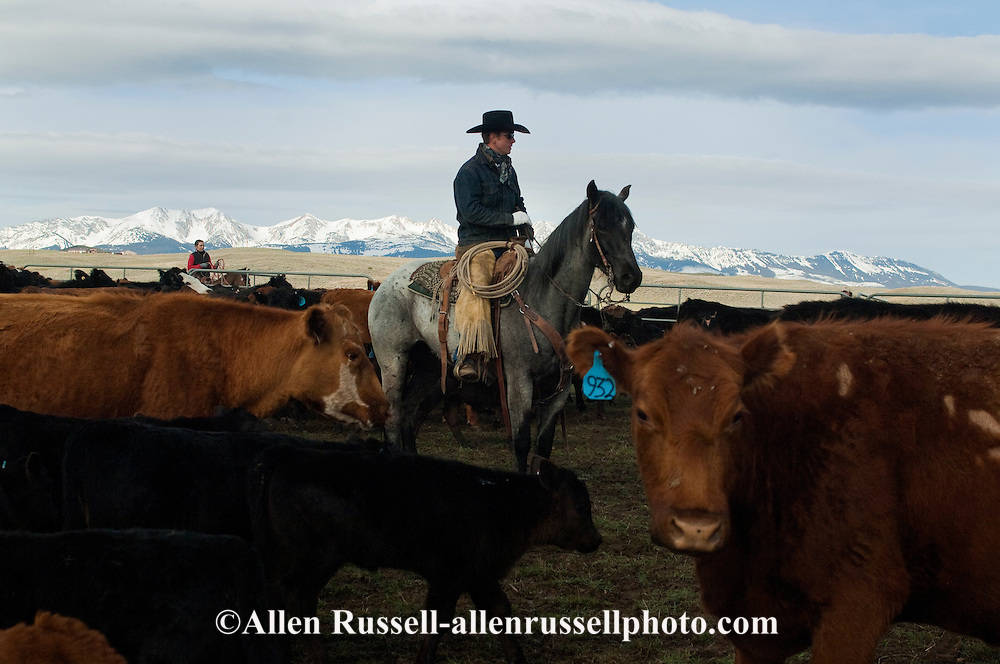 Cowboys sorting Angus cows and calves for branding, Wilsall, Montana, Bridger Mountains,<br /> MODEL RELEASED, PROPERTY RELEASED