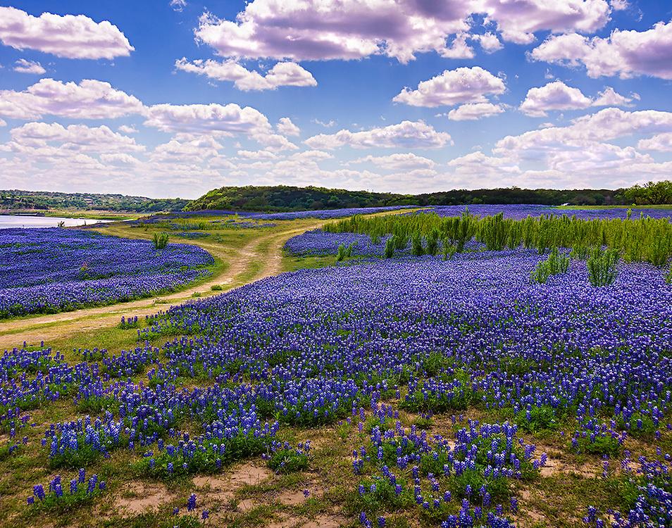 Vast fields of bluebonnets blanket at Muleshoe Bend, Texas.