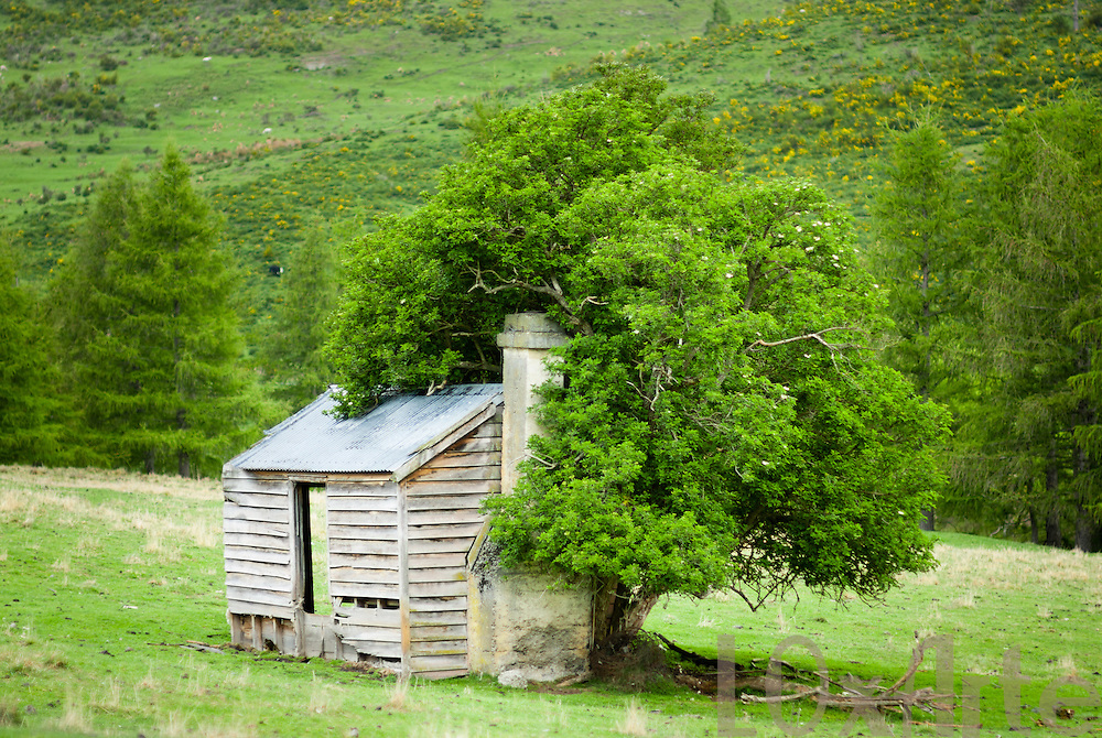 Tree growing and engulfing old cottage ruins in Otago, New Zealand.
