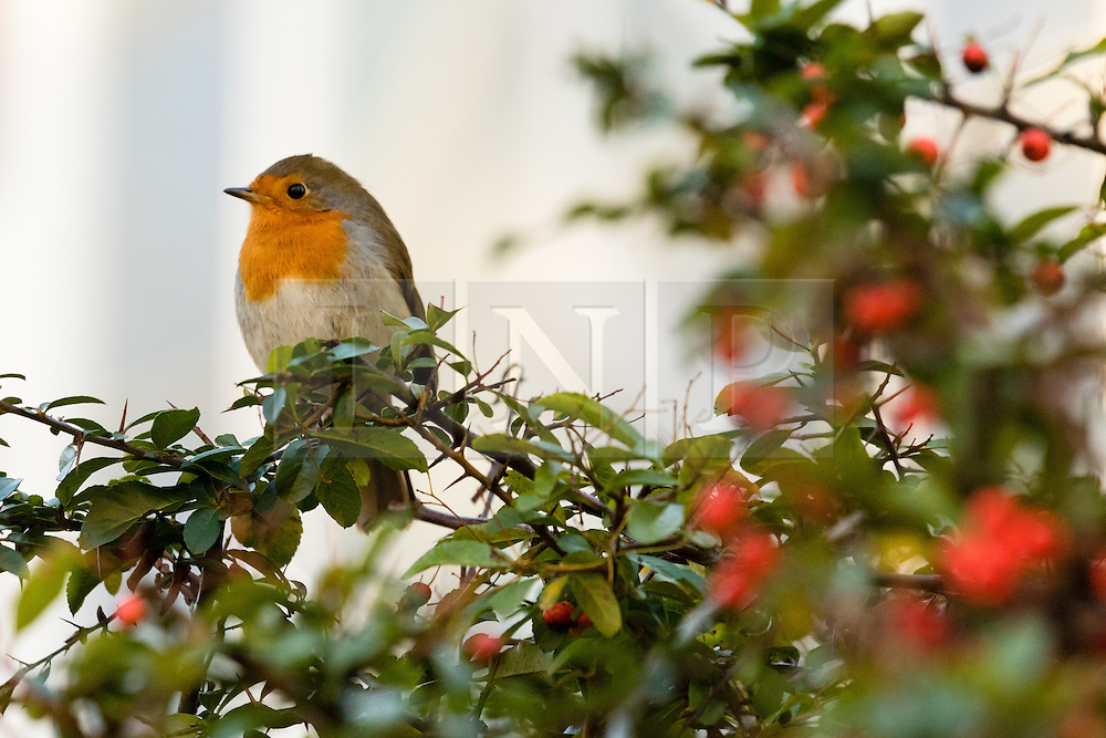 © Licensed to London News Pictures. 28/01/2015. London, UK. A robin sits on a red berry bush near Hampstead Heath during cold weather this morning. Photo credit : Vickie Flores/LNP