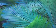 Design of Tiger Palms - Pinanga Maculata