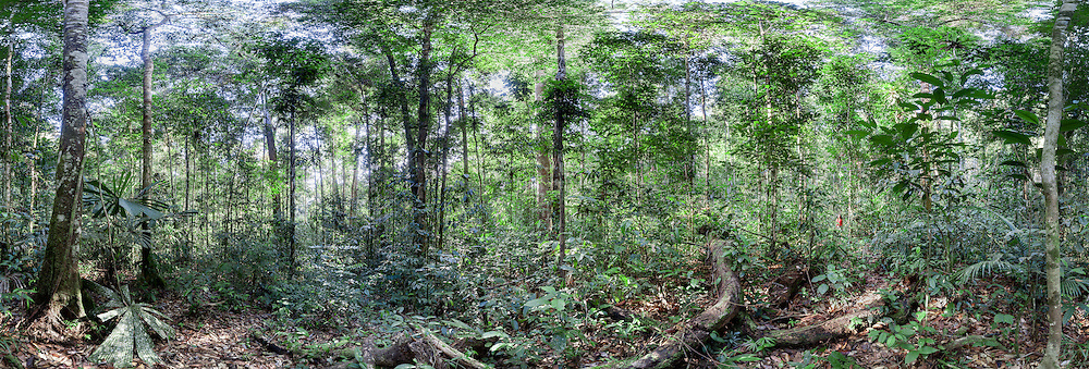 Panoramic view of a lowland dipterocarp rainforest in Ulu Temburong National Park, Brunei (Borneo)