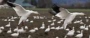 Snow geese look for a spot to set down in a farmer's field on the north side of Fir Island in Skagit Valley.  (Alan Berner / The Seattle Times)