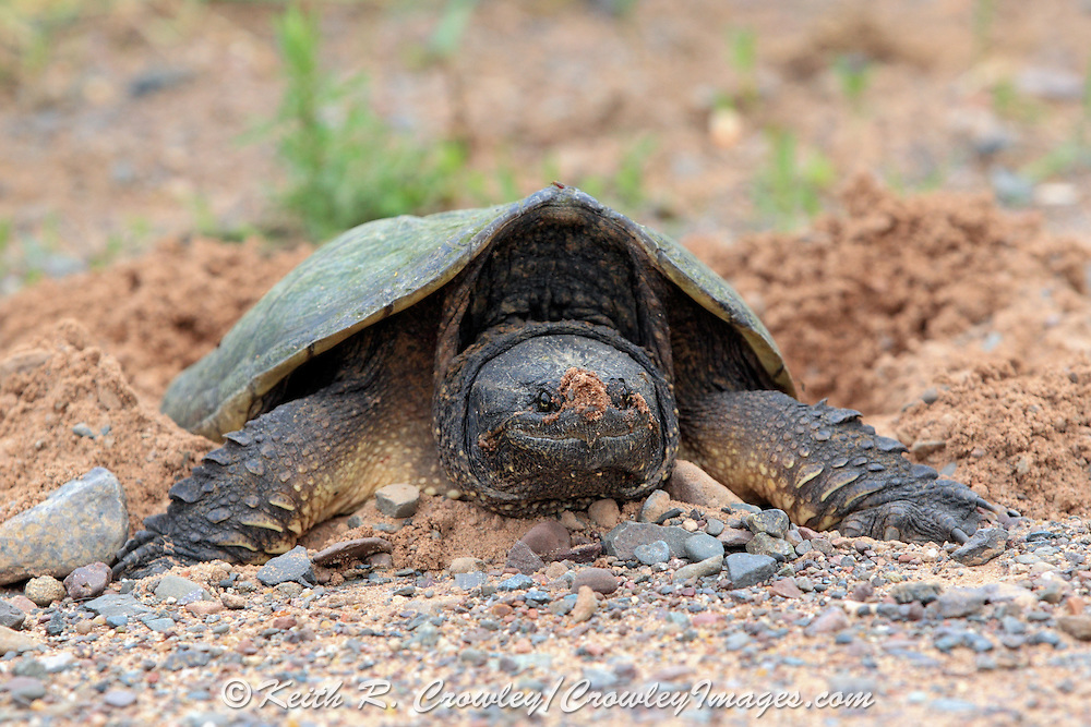 Snapping turtles preparing to lay their eggs