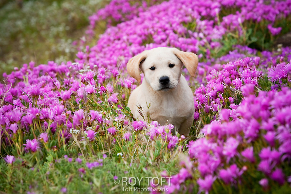 A young labrador retriever outdoors sitting amongst the flowers, San Diego, California