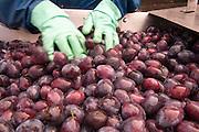 Zwetschgen werden gewaschen, Odenwald, Naturpark Bergstraße-Odenwald, Hessen, Deutschland | plum washing, Odenwald, Hesse, Germany