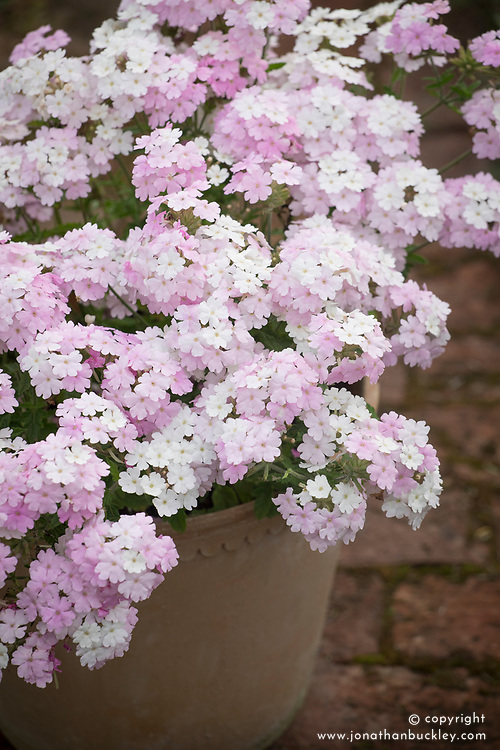 Verbena 'Endurascape Blush' in a terracotta pot.