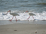 White Ibis walk through the foam of the Atlantic Ocean waves