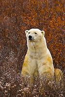 A male polar bear in vegetation on the tundra along Hudson Bay, near Churchill, Manitoba, Canada