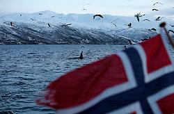 NORWAY TROMSO 5DEC15 - An Orca whale near a Norwegian boat in a fjord near the arctic city of Tromso.<br /> <br /> jre/Photo by Jiri Rezac / Greenpeace<br /> <br /> &copy; Jiri Rezac 2015