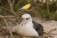 Island Canary photo Midway Hawaii