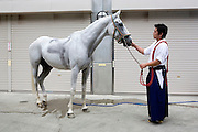 Kiyomoto Ogasawara taking care of a horse that is used in Yabusame.