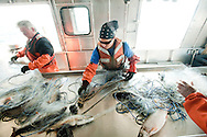 PRICE CHAMBERS / NEWS&amp;GUIDE<br /> Leo Romanowski, Heather Paddock and Michael Veneziani work on a gill net boat, removing lake trout from the long nets dragged behind the small vessel as it trawls around Yellowstone Lake. The fish that are caught and killed are measured and sexed before being dumped back into deep water.