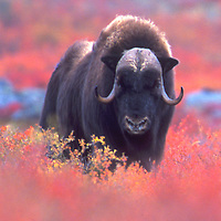 Muskox posing in the fall color of the tundra of Northwest Territories Canada.