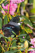 Tui in the spring, New Zealand