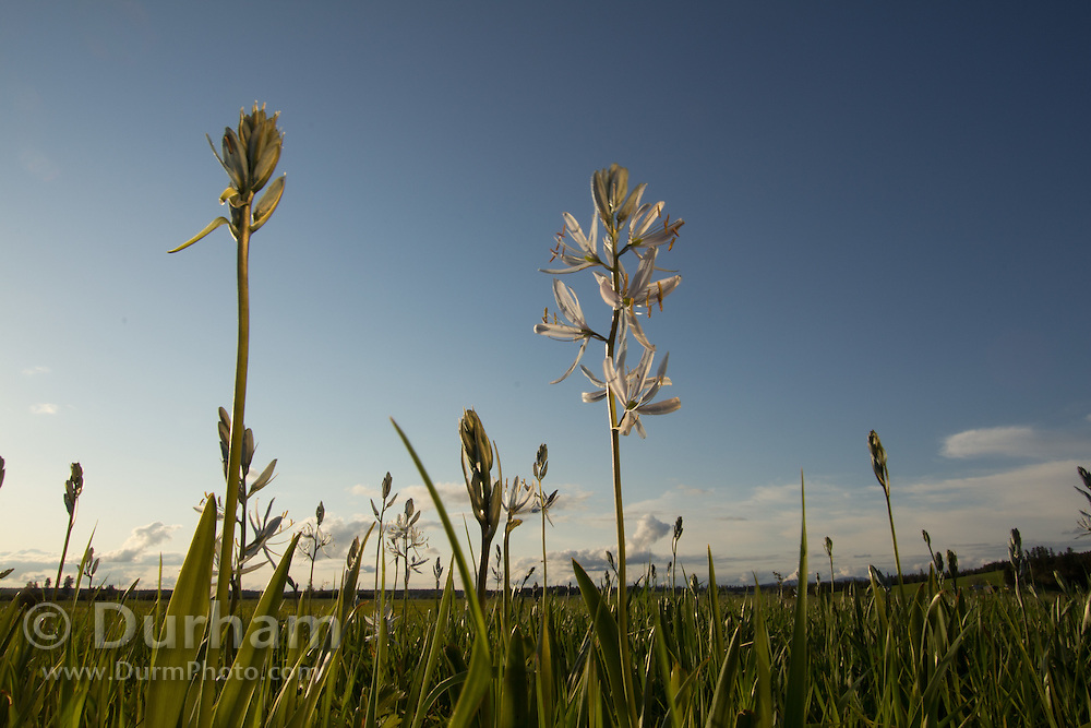 A single camas flower(Camassia quamash), On Weippe Prairie, Idaho. On September 20, 1805 the first members of Lewis and Clark's Corps of Discovery, including Clark himself, emerged starving and weak onto the Weippe Prairie. There they encountered the Nez Perce, who were attracted to the area by the abundant hunting, as well as the fields of camas flowers, whose roots were a staple of their diet.