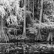 Cypress Grove In Still Black Water - Caddo Lake, Texas - Infrared Black & White