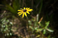 The always popular black-eyed Susan growing in the CREW Marsh Hiking Trails in Collier County, Florida. These can be seen all over Florida in many habitats.