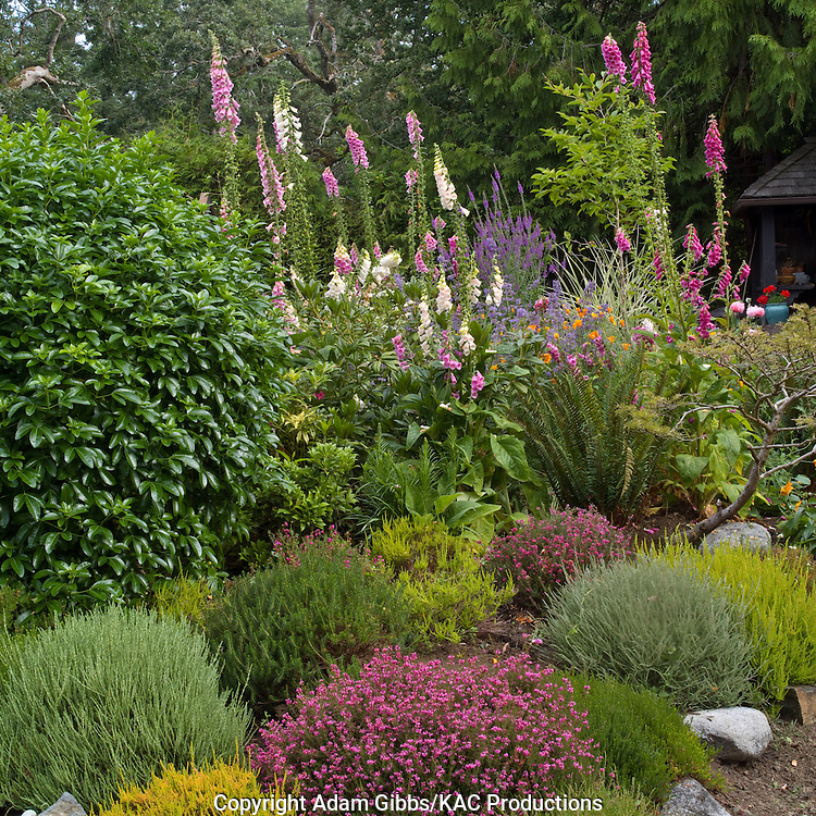 mixed heathers, shrubs and foxglove