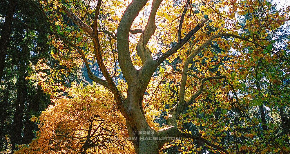 Backlit Black tupelo (Nyssa sylvatica)) also known as blackgum in Mount Tabor Park, Portland, Oregon, USA.  Tree #5 Trees of Mt Tabor Park. Kodak Portra 400, W Nikkor 35mm f/2.5, Nikonos-V.