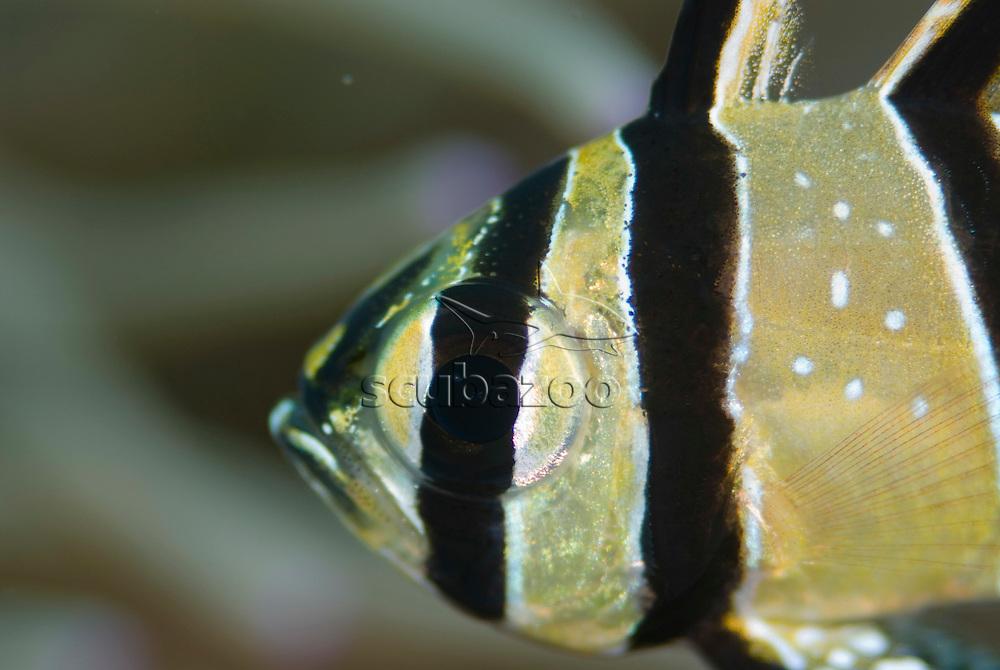 Portrait of Banggai Cardinalfish, Pterapogon kauderni, KBR, Lembeh Strait, Sulawesi, Indonesia.