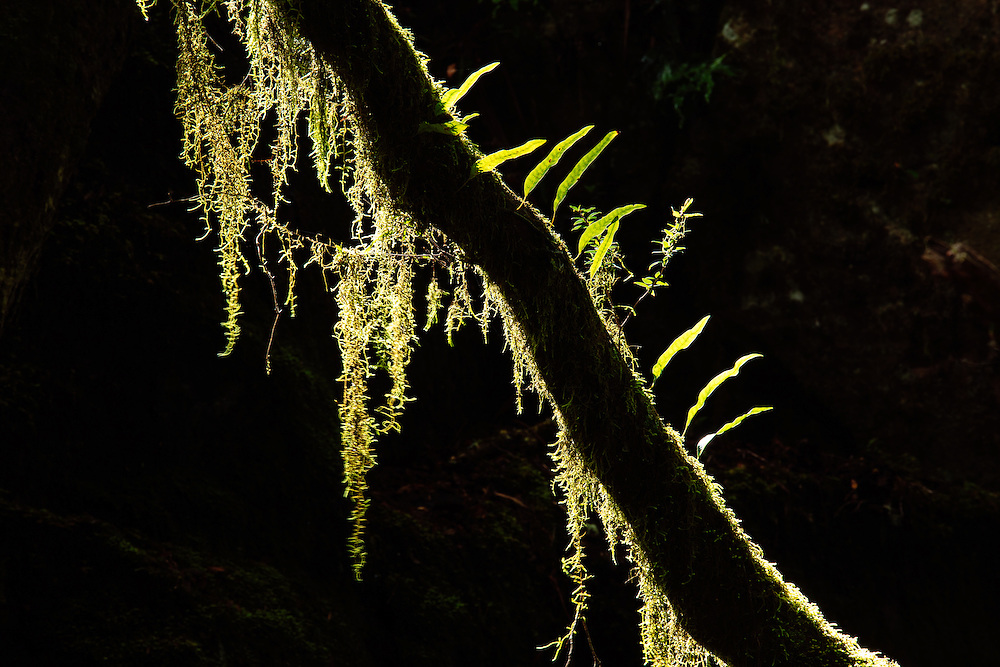 Backlit moss and other epiphytes cling to a tree branch in a shady section of New England National Park.