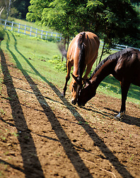 Pair of horses grazing in corrall