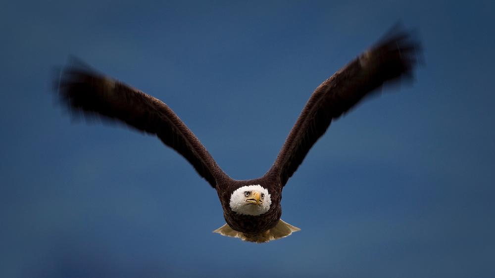 A Bald Eagle flies over in Homer Alaska.