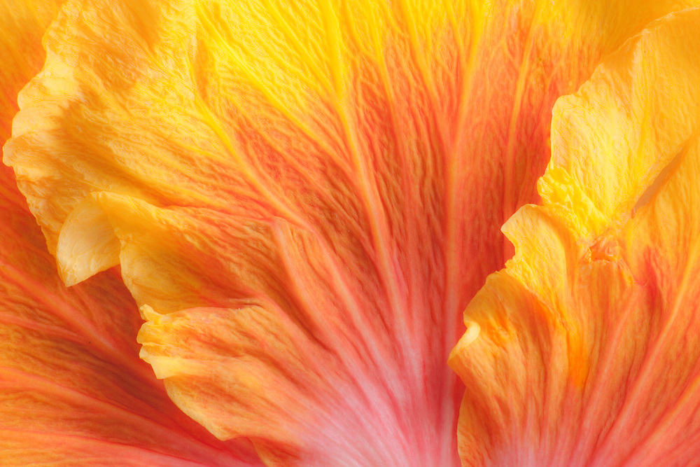 Colorful design of close-up of Hibiscus flower petals