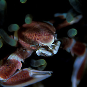 Porcelain Crab Neopetrolisthes maculatus in Lembeh, Suluwesi, Indonesia.