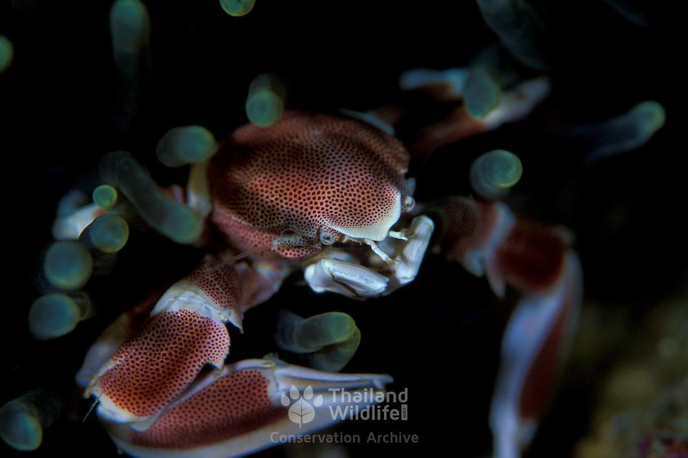 Porcelain Crab Neopetrolisthes maculatus in Lembeh, Suluwesi, Indonesia.