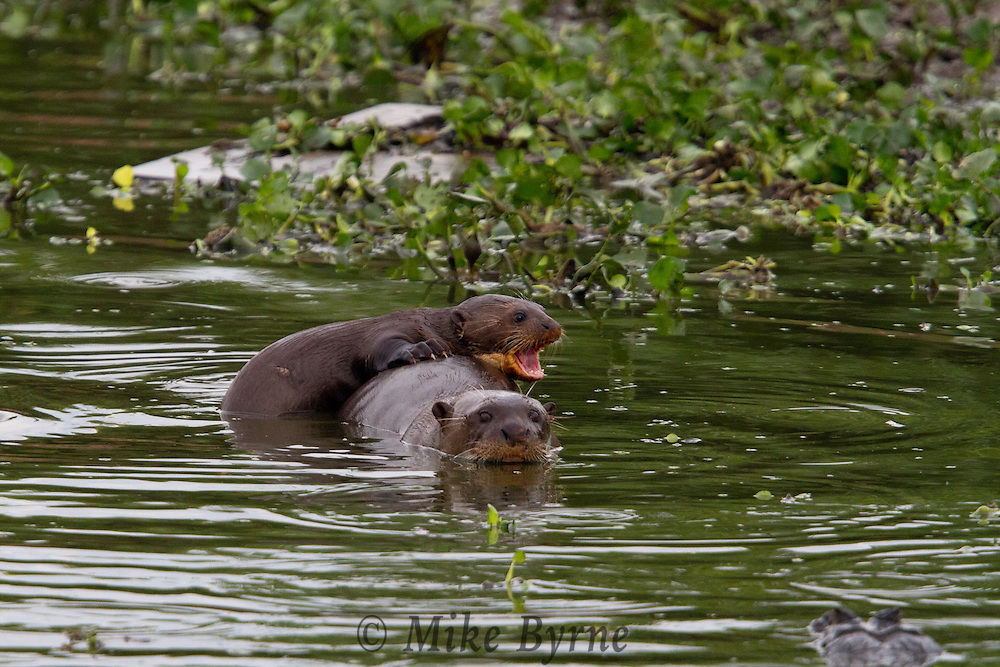 Giant Otters (Pteronura brasiliensis) feeding in a Pantanal pond near Araras Eco Lodge (Pantanal, Mato Grosso, Brazil)