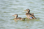 Female Mallard (Anas platyrhynchos) (right) and juvenile swimming in the water. Photographed in Israel, in January