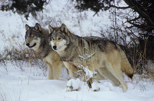 Gray Wolf, (Canis lupus) In Snowy timber. Rocky mountains. Montana. Winter. Captive Animal.