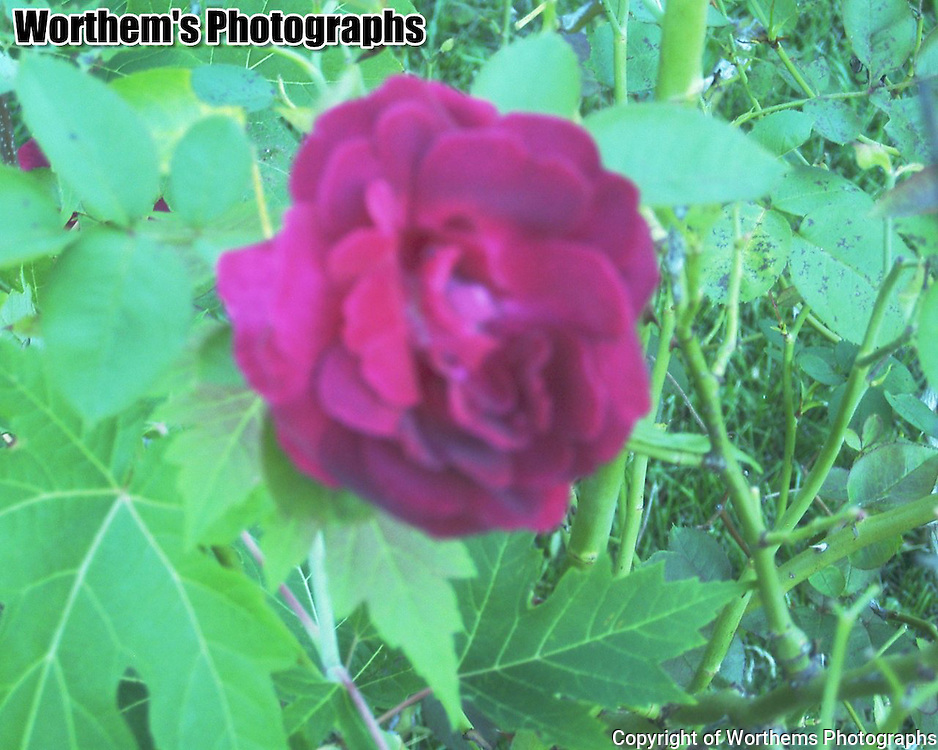 One fully bloomed rose makes a comeback towards the end of the summer.