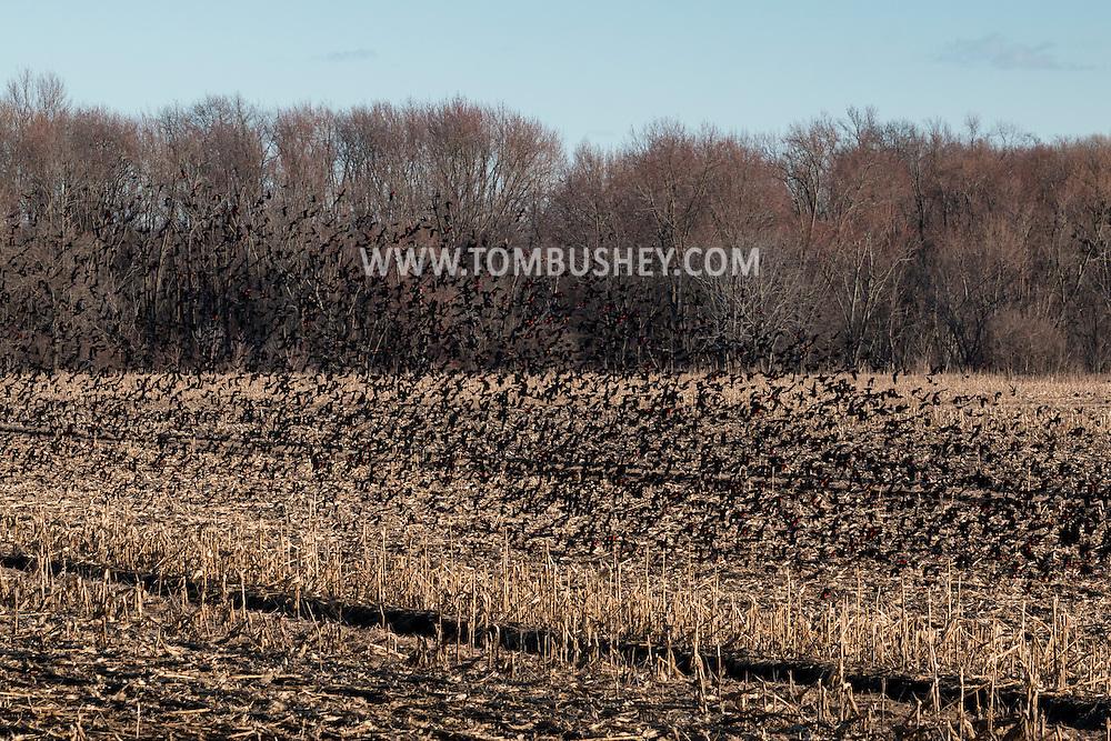 Wawayanda, New York - A large flock of red-winged blackbirds flies over fields near Onion Avenue on March 2, 2016.