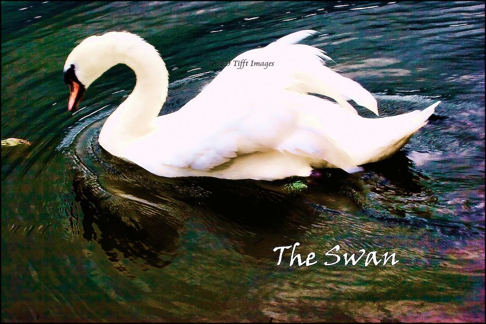 "single swan in left profile, caption ""The Swan"""