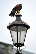 © Licensed to London News Pictures. 13/03/2012. London, UK. Lizzie sits onto of a lamppost looking for pigeons. Wayne Parsons flies Lizzie, aged 3, the American Harris Hawk in London's Trafalgar Square today. Wayne and Lizzie are employed by the Greater London Authority to control the pigeon population in the famous square. Lizzie was reared from birth by Wayne but not 'imprinted', meaning she retains her natural ability to hunt. Lizzie only catches 5 or 6 pigeons a year as the very site of her scares them away.  Photo credit : Stephen SImpson/LNP