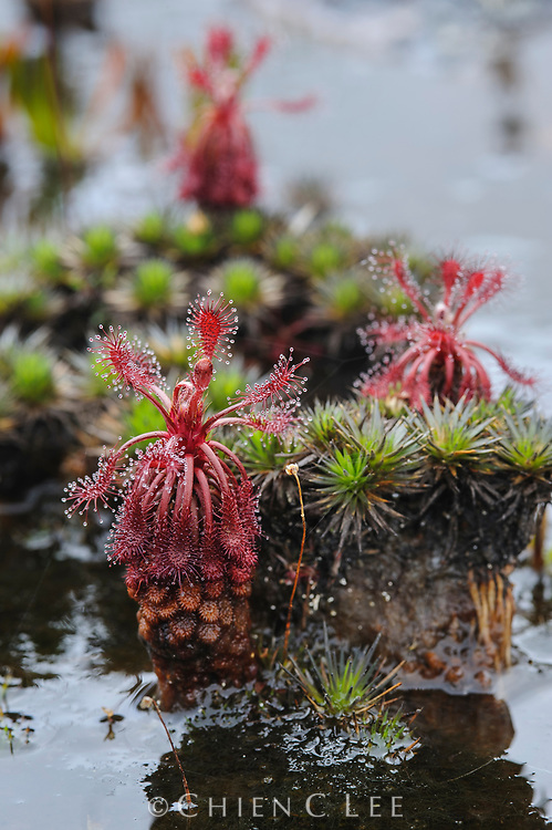 Carnivorous sundews (Drosera roraimae), growing on the summit of Amuri Tepui.