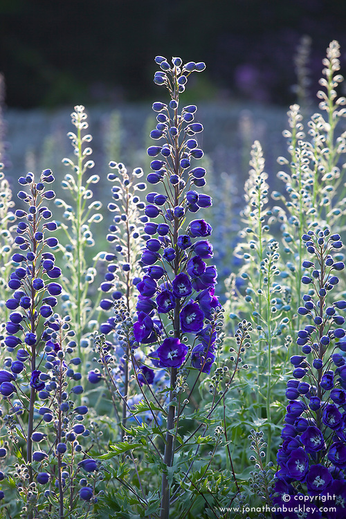 Early morning sun backlighting delphiniums