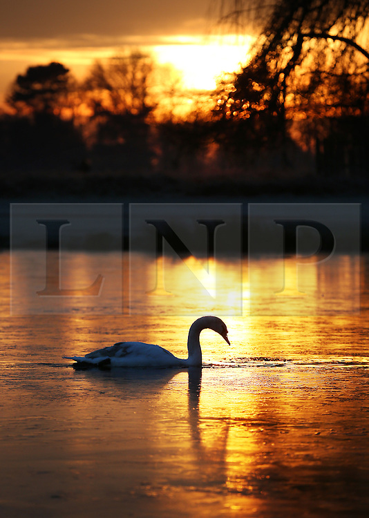 © Licensed to London News Pictures. 19/01/2016. London, UK. A swan paddles through a channel in the ice on Heron Pond in Bushy Park. Overnight temperatures have dropped to as low as -4 centigrade. Photo credit: Peter Macdiarmid/LNP