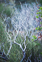 Point Leaf Manzanita and Mormon Tree Shrub Sedona Arizona USA&#xA;<br />