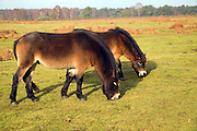 Exmoor ponies used for conservation grazing on Sandlings heathland, Sutton, Suffolk, England