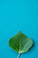 Summer green aspen leaf.