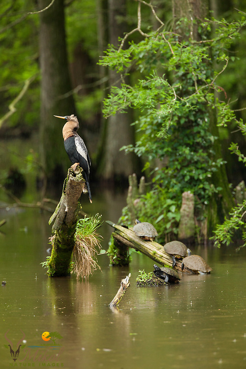 Female anhinga and turtles in swamp