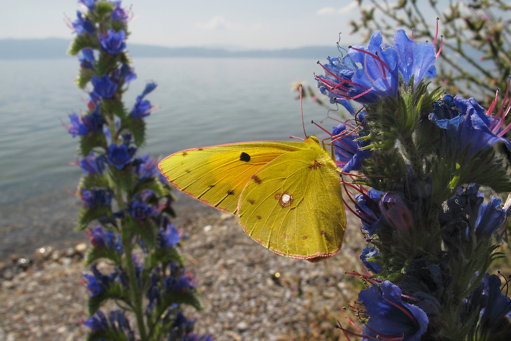 Clouded Yellow butterfly, Colias croceus, feeding on Viper&rsquo;s-Bugloss, Echium vulgare.<br /> Lagadin region. Lake Ohrid (693m).<br /> Galicica National Park, Macedonia, June 2009<br /> Mission: Macedonia, Lake Macro Prespa /  Lake Ohrid, Transnational Park<br /> David Maitland / Wild Wonders of Europe