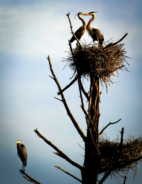 (4/25/09 North Sutton, NH) Great Blue Heron rookery. (Michael Seamans)