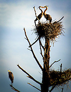 New Hampshire-Great Blue Herons